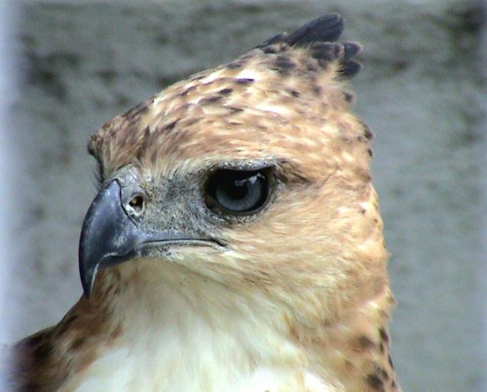 Philippine Hawk Eagle - Palawan